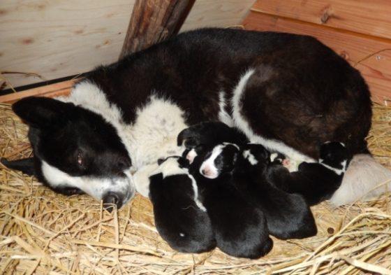 【ピッキオ】タマと6頭の小犬