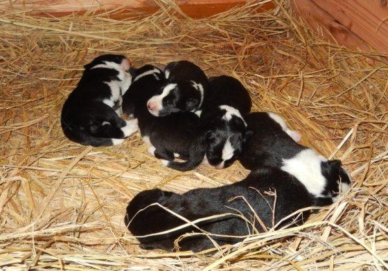 【ピッキオ】タマの小犬6頭全て